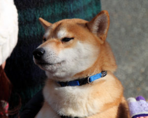Should You Shave The Shiba Inu